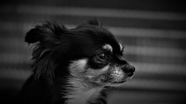 Background, Chihuahua, Dog, Black White, Small, Cute