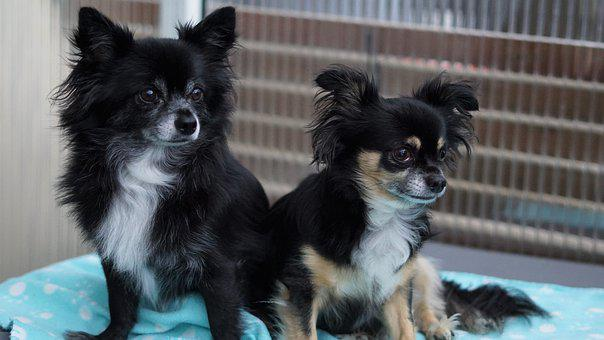 Duo, Two, Chihuahua, Dogs, Small, Sweet, Cute, Fluffy