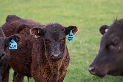 Cow, Calf, Black Angus, Farm, Cattle, Animal, Mammal