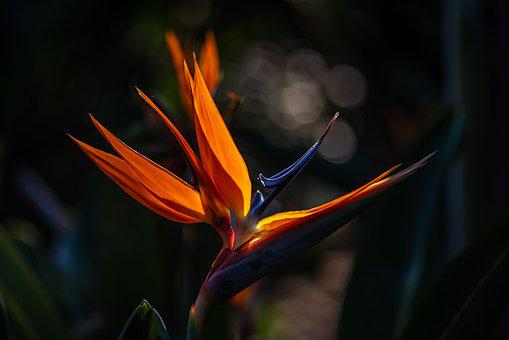 Bird, Of, Paradise, Flower, Tropical, Colorful, African