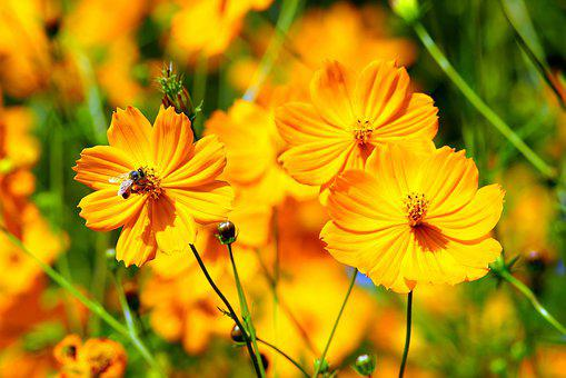 Yellow Cosmos, Cosmos, Flowers, Yellow, Nature, Plants