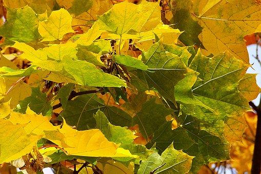Clone, Leaf, Colored, Foliage, The Decrease In