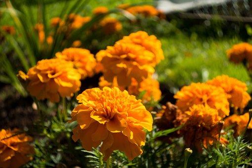 Barhotki, Flowers, Petals, Nature, Summer, Garden
