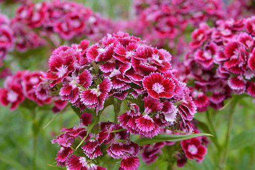 Polish Flowers, Garden, Nature, Poland, Flower, Green