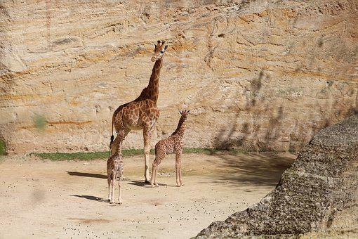 Giraffe, Girafons, Zoo, Bioparc, Nature, Animal
