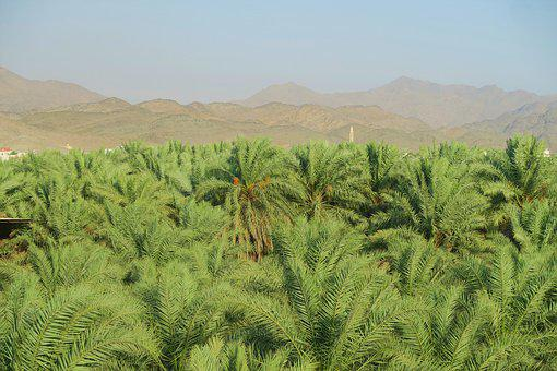 Palm, Garden, Agriculture, Nature, Farm, Trees, Green