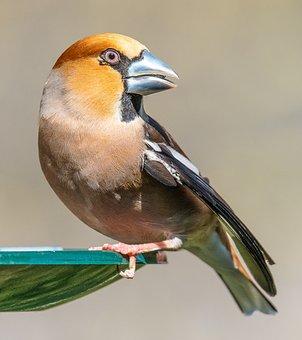 Grosbeak, Birds, Feeding, Fink King, Bird Watching