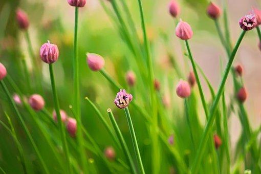 Chives, Flower, Herbs, Aromatic, Green, Garden