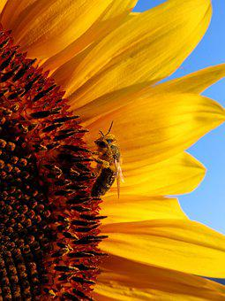 Sunflower, Honey Bee, Yellow, Nature, Flower, Insect