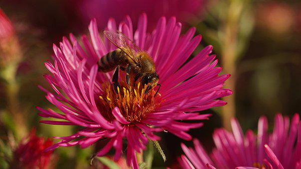 Bee, Honey Bee, Rough-leaf Aster, Herbstaster