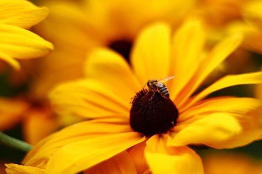 Bee, Honey, Flower, Blossom, Bloom, Yellow, Bees