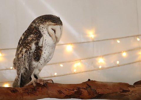 Owl, Nocturnal, Raptor, Predator, Bird Of Prey, Animal
