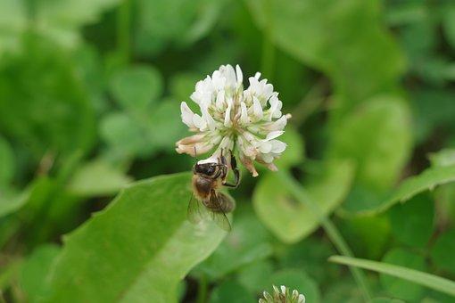 Nature, Flower, Plant, Clover, Bee, Macro