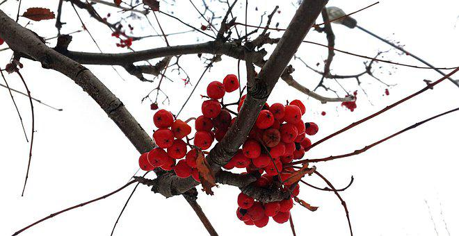Berries, Nature, Tree, Branch, Winter, Red, Plant