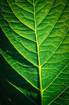 Leaf, Veins, Close Up, Plant, Green, Structure