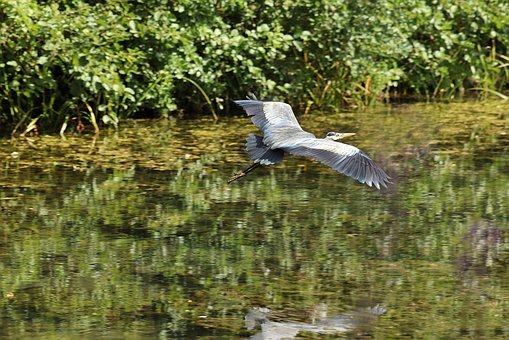 Heron, Grey Heron, Bird, Flying, Wing, Pond