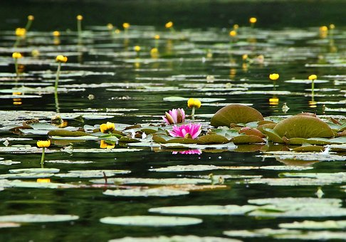 Water Lilies, Lake, Water, Plant, Pond, Green, Rose