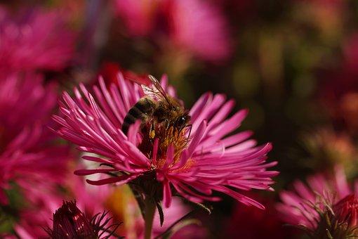 Bee, Honey Bee, Rough-leaf Aster, Herbstaster