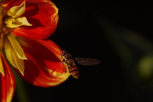 Hover Fly, Dahlia, Pooh, Anemonenblütig, Ruff Dahlia