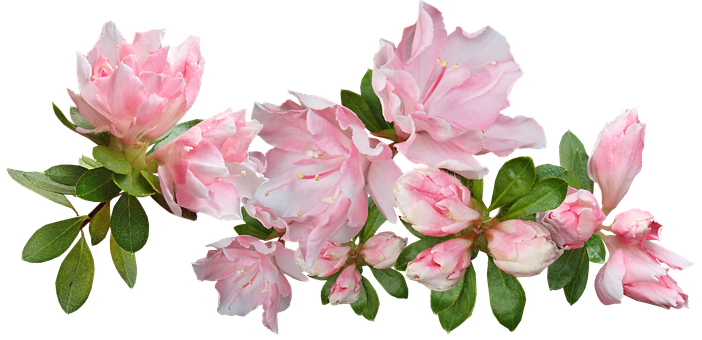 Flowers, Pink, Azaleas, Stem, Spring, Cut Out, Isolated
