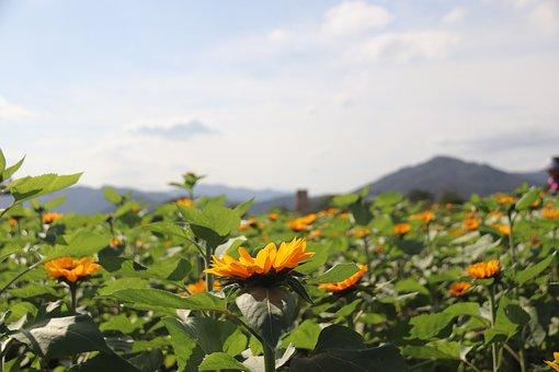 Sunflower, Sun Flower, Garden, Field, Yellow, Summer