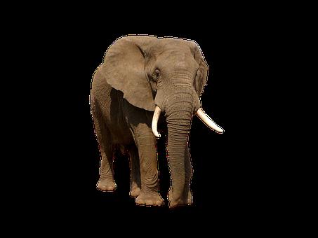 Elephant, Animal, Mammal, Tusks, Nature, Wilderness