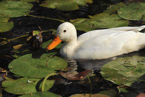 Duck, Mallard, Water Bird, White, Plumage, Swim, Pond