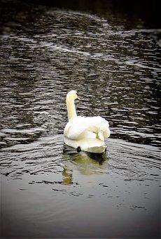 Swan, Bird, Schwimmvogel, Lake, Water, Reflection