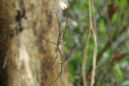 Golden Silk Spider, Spider, Weird, Asia