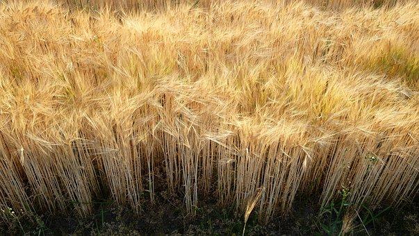 Field, Barley, Wheat Field, Cornfield, Agriculture