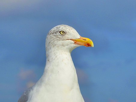 Seagull, Bird, Animal, Nature, Animal World, Bill
