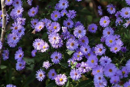 Asters, Aster Flowers, Purple, Blütenmeer, Flowers