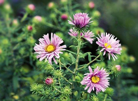 Herbstaster, Asters, Blossom, Bloom, Flowers, Pick