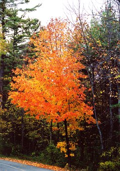 Autumn, Orange, Leaves, Tree, Fall, Seasonal, Color