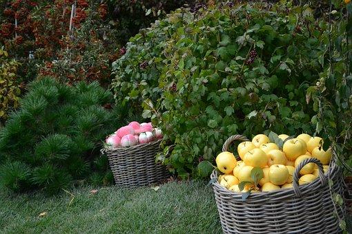 Autumn, Basket, Apples, Harvest, Fruit, Ripe, Garden