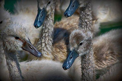 Baby, Swan, Bird, Beak, Plumage, Fluffy, Nature, Water