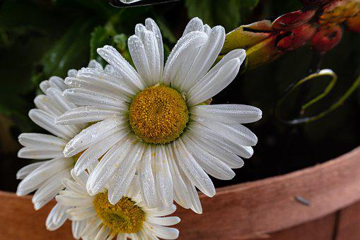 Flower, White, Petals, Yellow, Daisy, Bloom, Garden