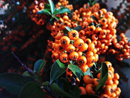 Berries, Bush, Fruit, Plant, Foliage, Natural