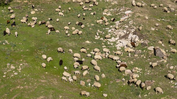 Herd, Sheep, Shepherd, Cattle, Meadow, Wool, Animals