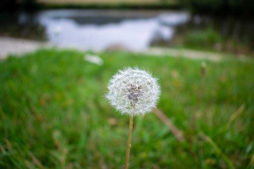 Dandelion, Close Up, Flower, Plant, Pointed Flower