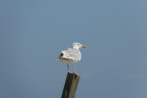 Baltic Sea, Gull, View, Rear, Bird, Coast, Water Bird