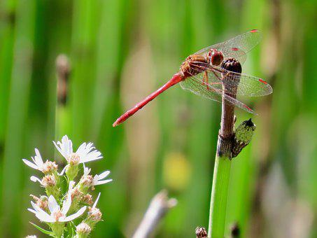 Horsetail, Aster, Nature, Flora, Dragonfly, Insect