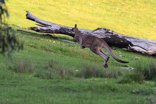 Kangaroo, Eastern Grey, Marsupial, Wildlife, Animal