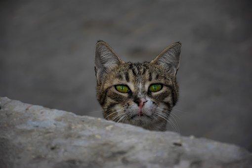 Cat, Animal, Eyes, Portrait, Eye, Face, Nature, Head