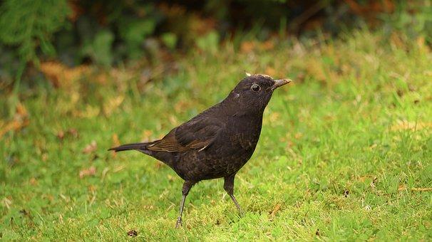 Throttle, Blackbird, Bird, Feather, Garden, Nature