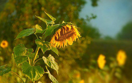 Sunflower, Field, Blossom, Bloom, Flower, Nature