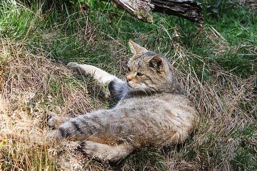 Wildcat, Felis Silvestris, Cat, Forest Cat, Predator