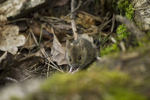 Mulot, Forest, Rodent, Fur, Animal, Mouse, Cute, Nature