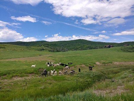 Alpacas, Farm, Green, Grass, Sky, Landscape, Herd
