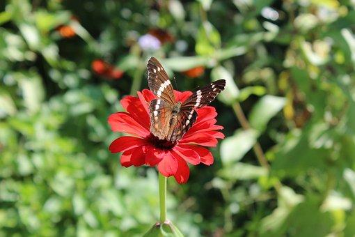 Perymenium, Winch, Flower, Green, Butterfly, Plant